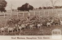 Stud Merinos, Staughton Vale Estate, 1911