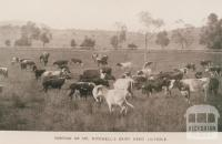 Mr Mitchell's dairy herd, Lilydale, 1905
