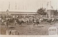 Mr Strickland's dairy herd, Darnum, 1909