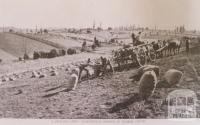 Harvesting onions at Neerim South, 1911