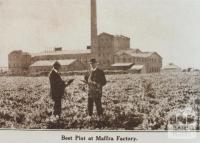 Beet plot at Maffra factory, 1920
