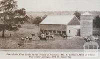 Mr T Collin's herd at Yinnar, 1931
