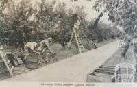 Harvesting Pullar peaches, Cobram district, 1952