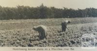 Hand-hoeing lettuce, Werribee, 1955