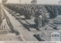 Irrigating young peaches 'Invergordon', 1963