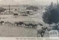 Flax mill near Myrtleford, 1951