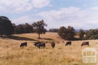 Cattle, Newmerella, 2011