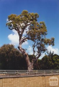 Aboriginal Tree, St Kilda, 2000
