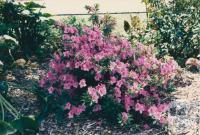 Azaleas, Jasper Road, Bentleigh, 1980