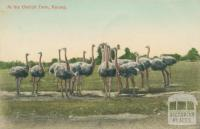 At the Ostrich Farm, Kerang