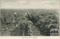 Harvesting fruit, Merbein