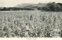 Tobacco Crops, Myrtleford