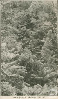 Fern Scene, Euchre Valley, 1947