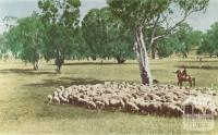 Herding sheep, Robinvale, 1966