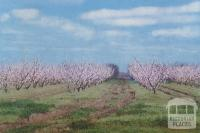 Fruit Trees in blossom, Shepparton