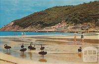 Swans on the beach at Norman Bay, Wilson's Promontory