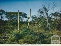 Grass trees, Wimmera