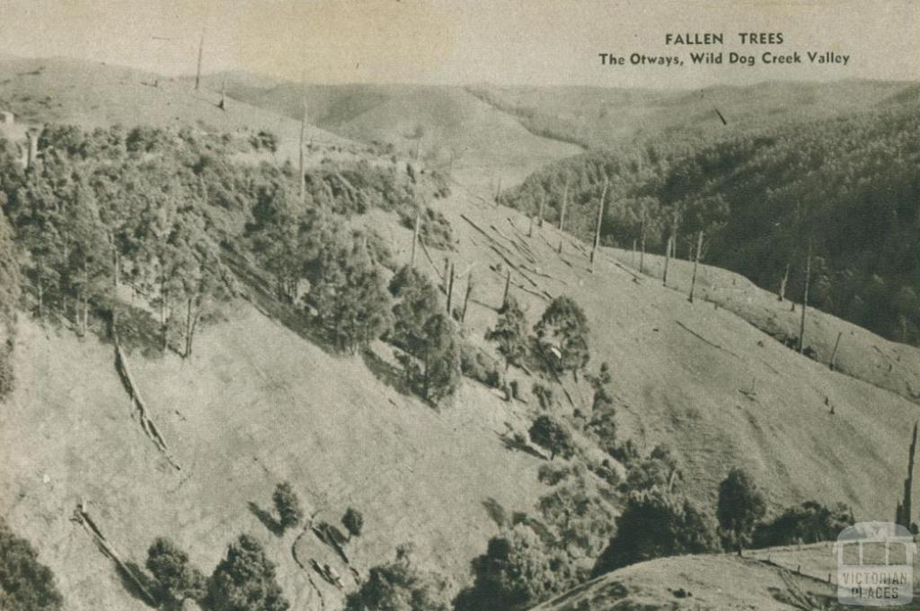 Fallen trees, The Otways, Wild Dog Creek Valley, 1954