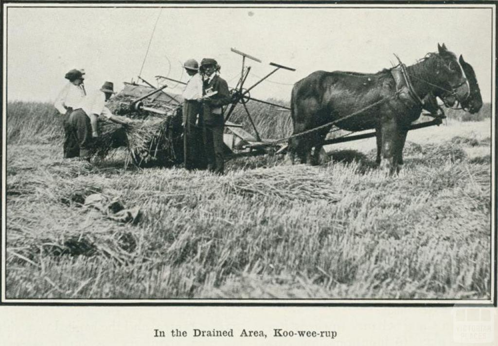 In the drained area, Koo-wee-rup, 1918