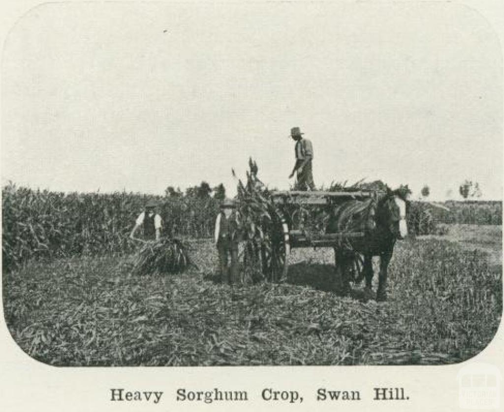 Heavy sorghum crop, Swan Hill, 1918