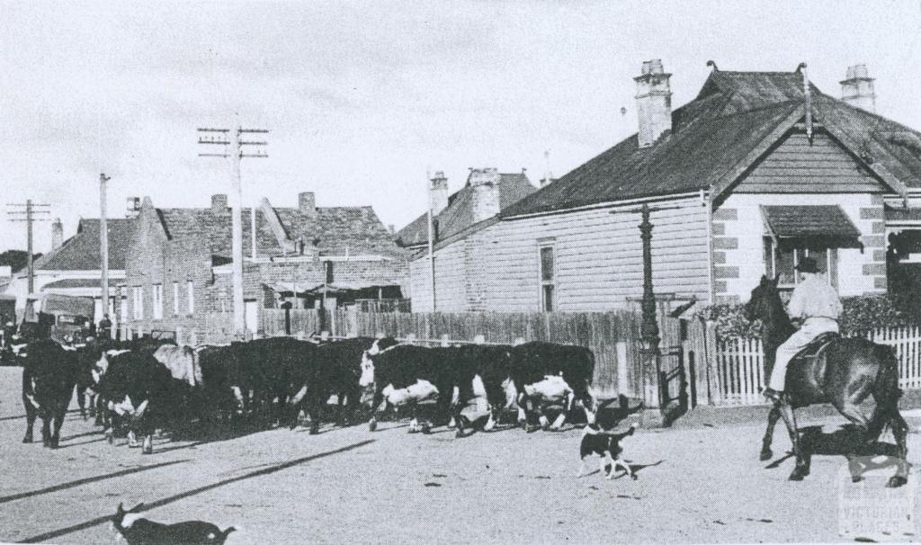Cattle being driven through a residential area near Newmarket, 1953