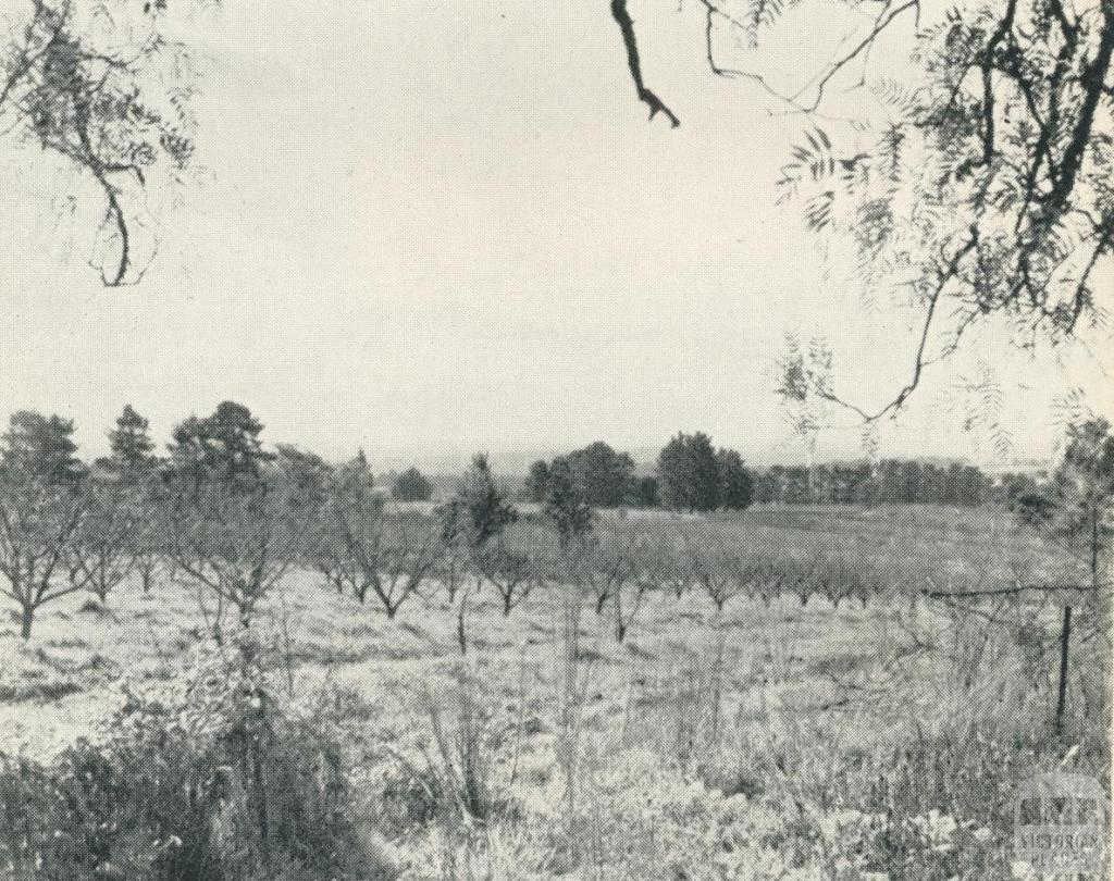 Peach Orchard, Doncaster, 1956