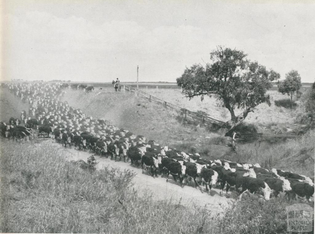 Cattle on the move at the Metropolitan Farm, Werribee, 1956