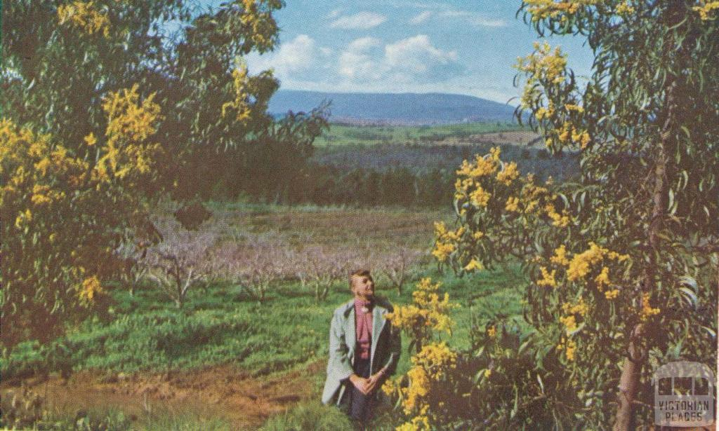 Wattle with the Dandenongs in the background, 1958