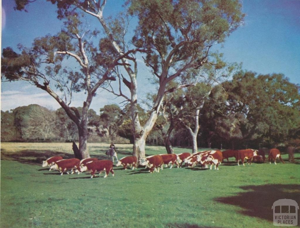 Hereford stud cows and calves, Shelford, 1958