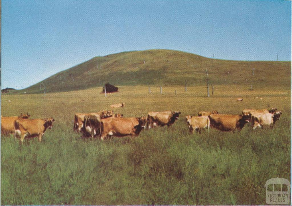 Jersey herd, Panmure, 1958