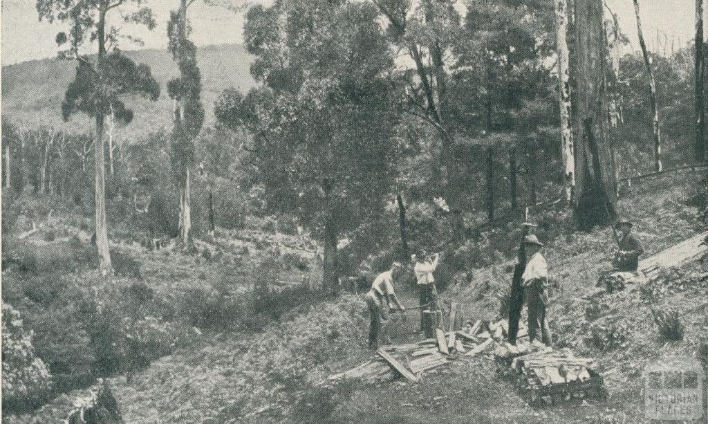 Splitting Shingles, Warburton, 1911