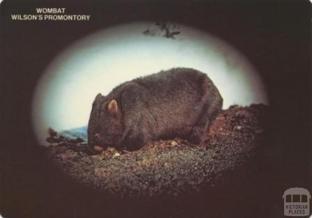 Wombat, Wilson's Promontory