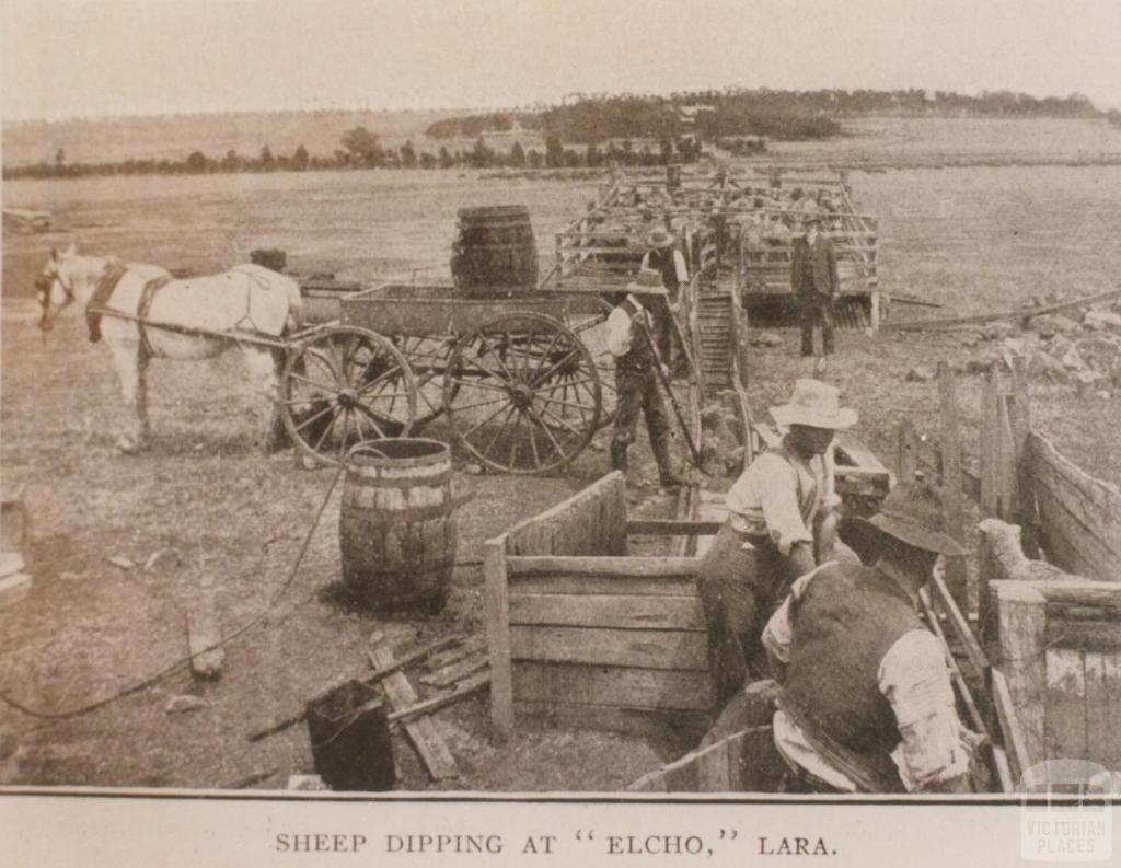Sheep dipping at 'Elcho', Lara, 1909