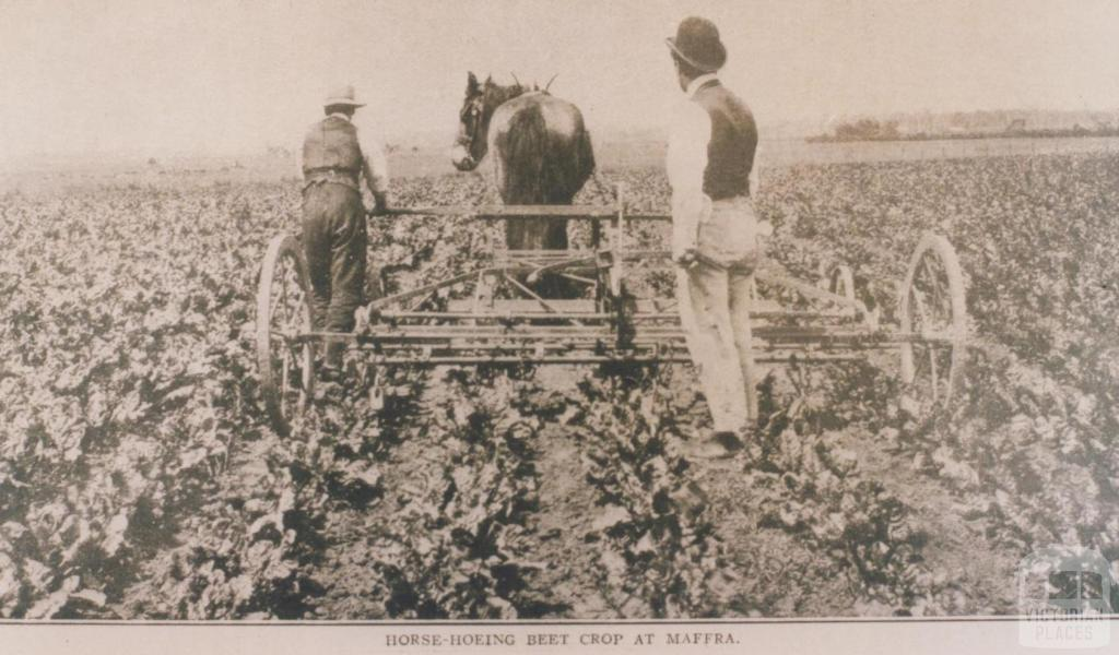 Horse hoeing beet crop at Maffra, 1911