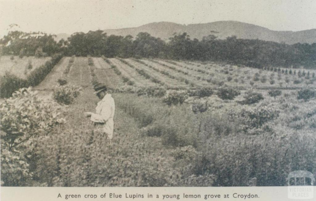 Crop of Blue Lupins in lemon grove, Croydon, 1943