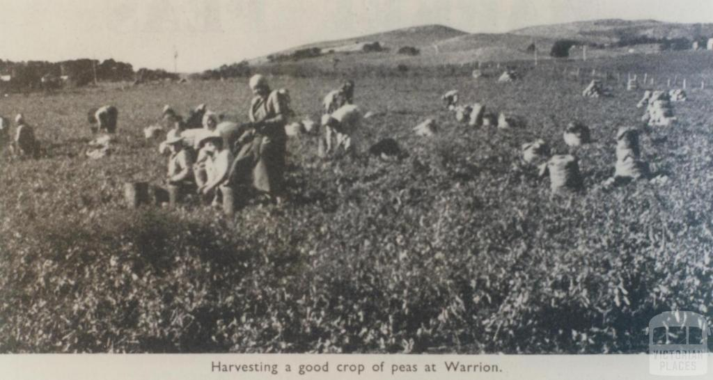 Harvesting peas, Warrion, 1963