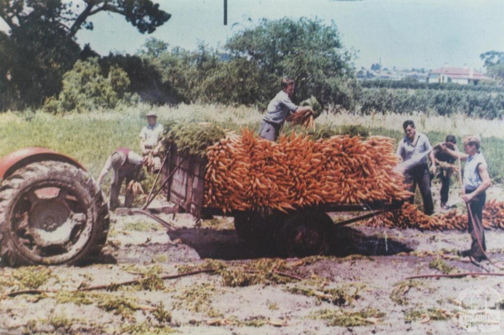 Harvesting carrots, Cheltenham, 1965