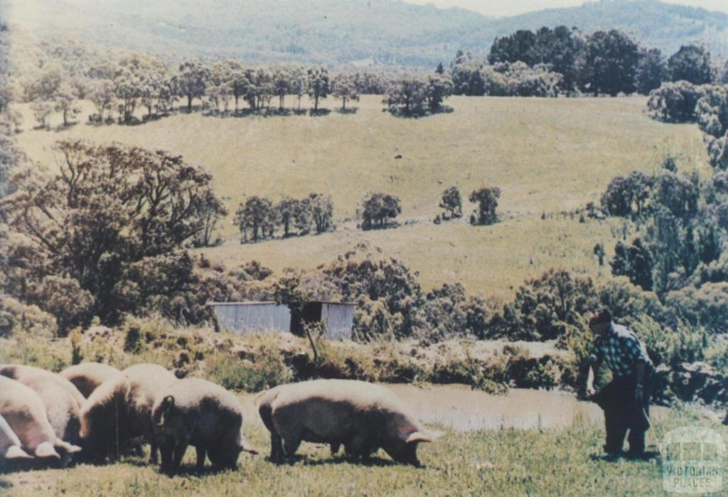 Clematis pig farm, 1967