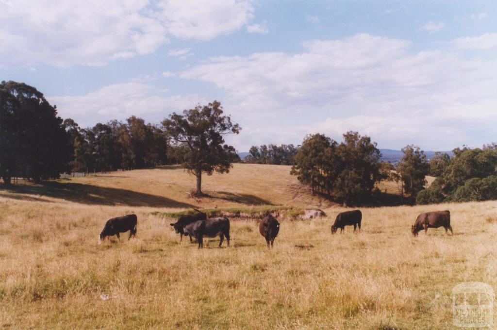 Cattle, Newmerella, 2011