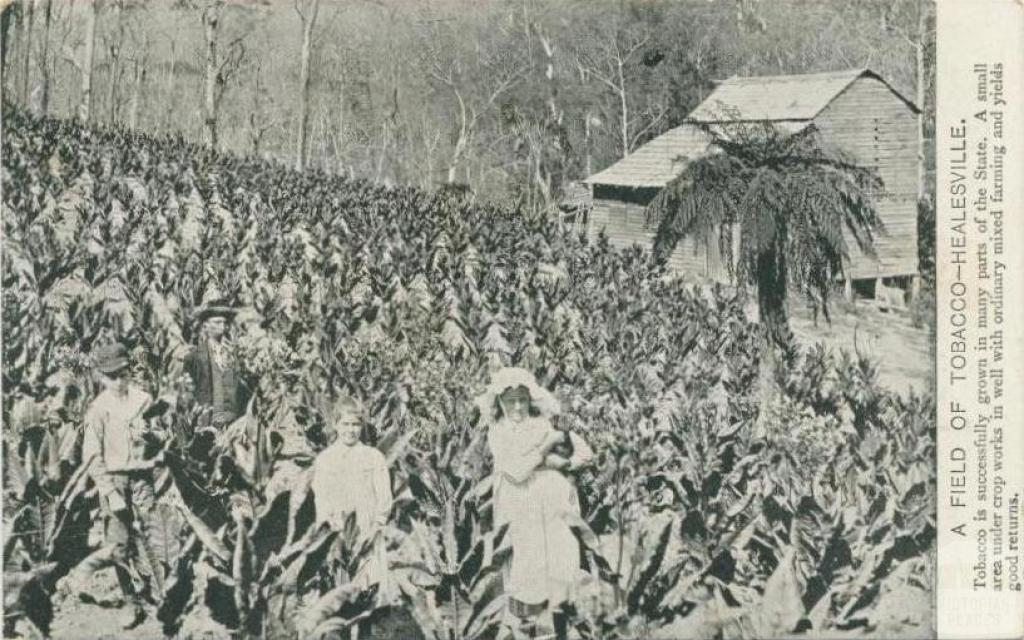 A field of tobacco, Healesville, 1908