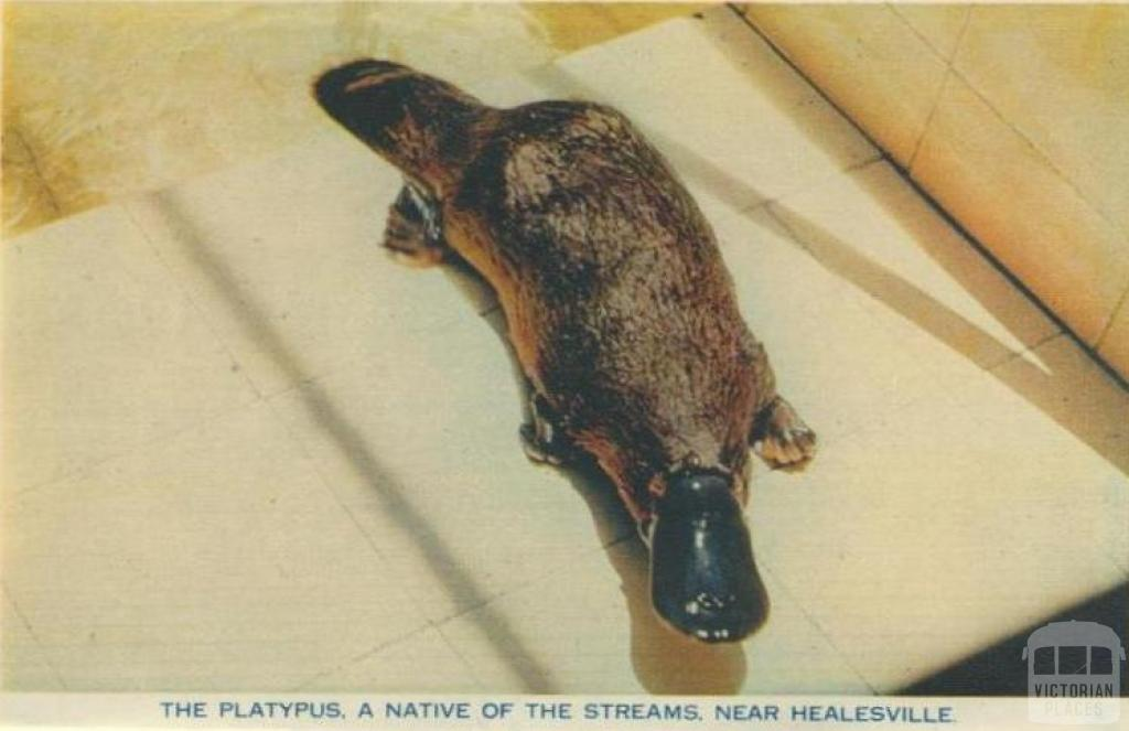 The platypus, a native of the streams, near Healesville