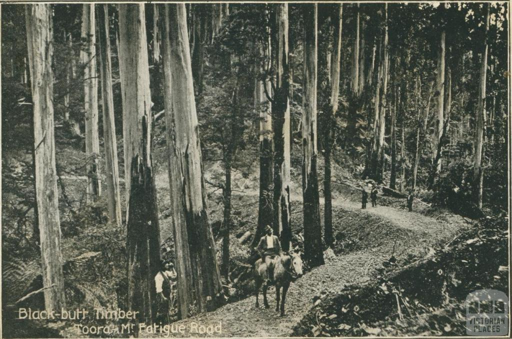 Black-butt Timber on Mt Fatigue Road, Toora, 1909